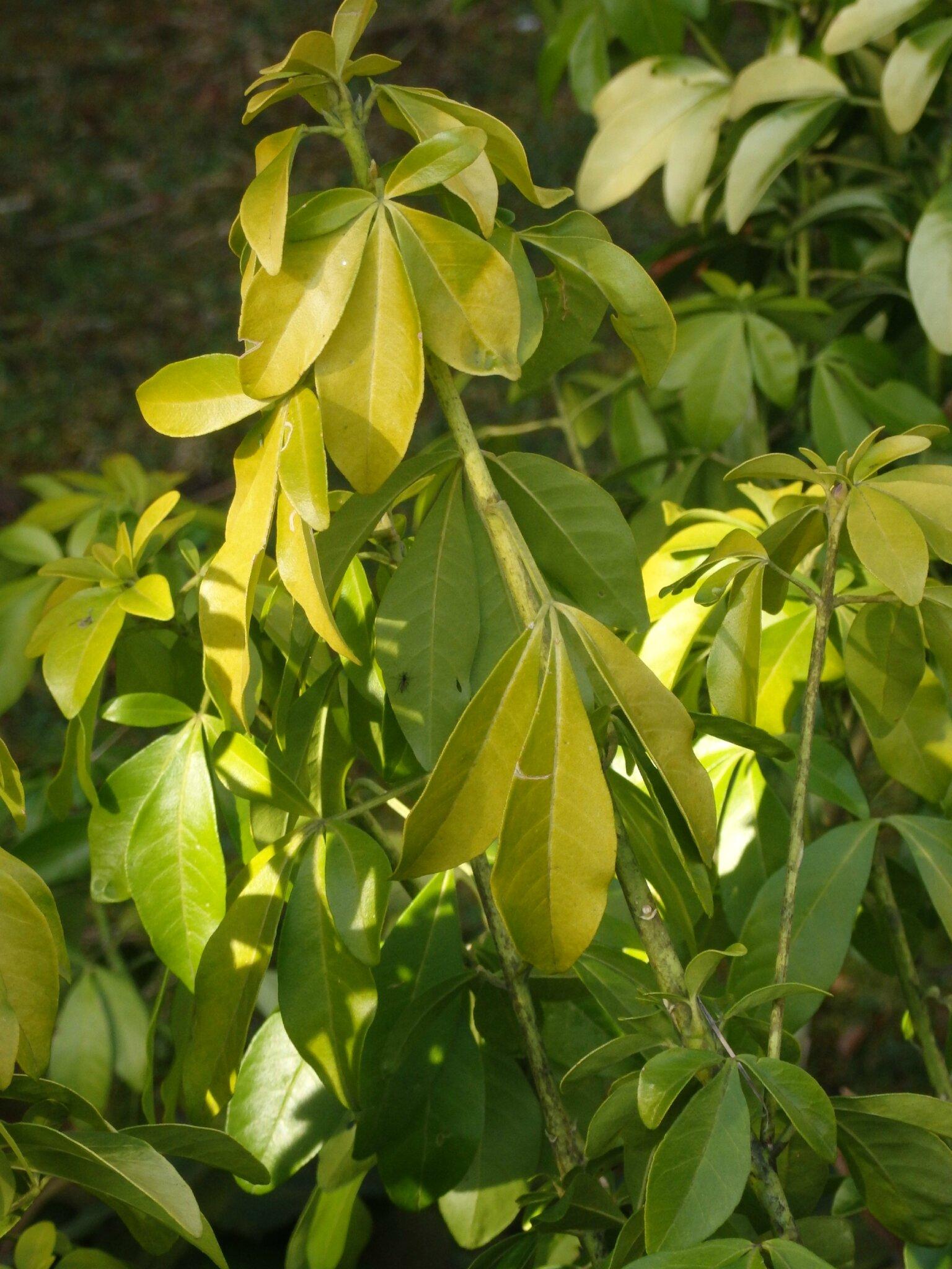 Champignons tous les messages sur champignons page 4 - Oranger du mexique feuilles jaunes ...