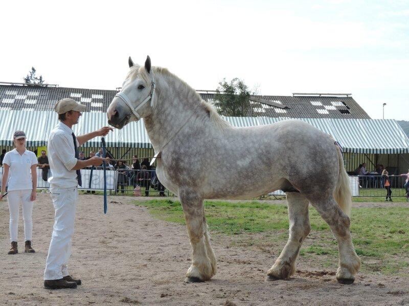 Empereur de Tourville - 23 Septembre 2017 - Concours des Etalons - Samer (62) - 4e (3 ans - Grandes Tailles)