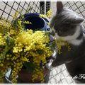 574 - y a pas que moi qui l'aime.... le mimosa !!!