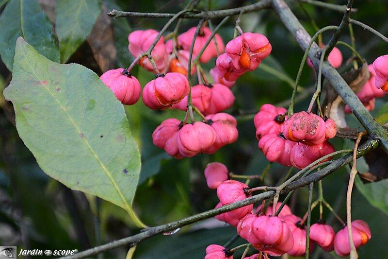 Fruits toxiques du Fusain d'Europe • Euonymus europaeus