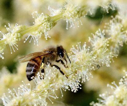 saveurs caractéristiques inégalables du châtaignier miel et miellat