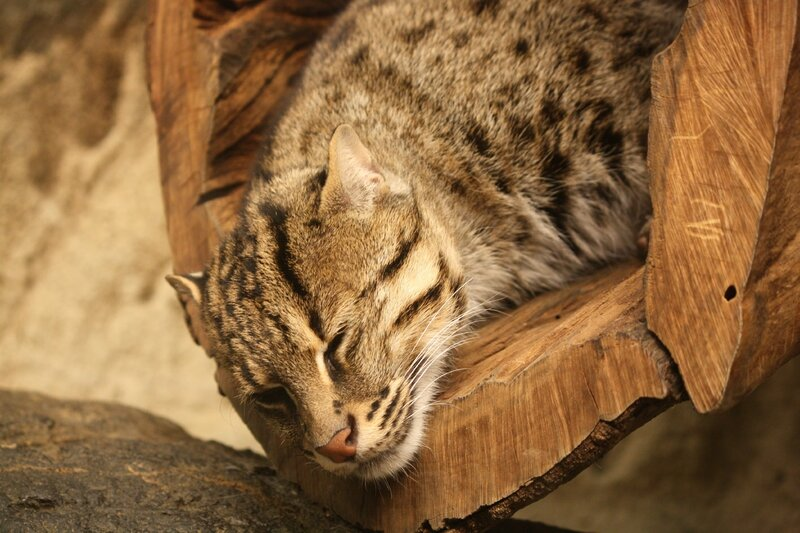 FishingCat_CincinnatiZoo