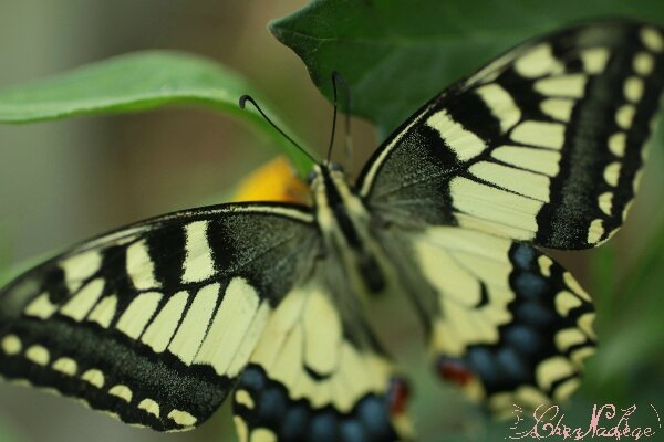 machaon_5
