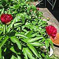 - des pivoines - bleuets - ancolie - iris -