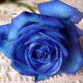 Rose bleue !
