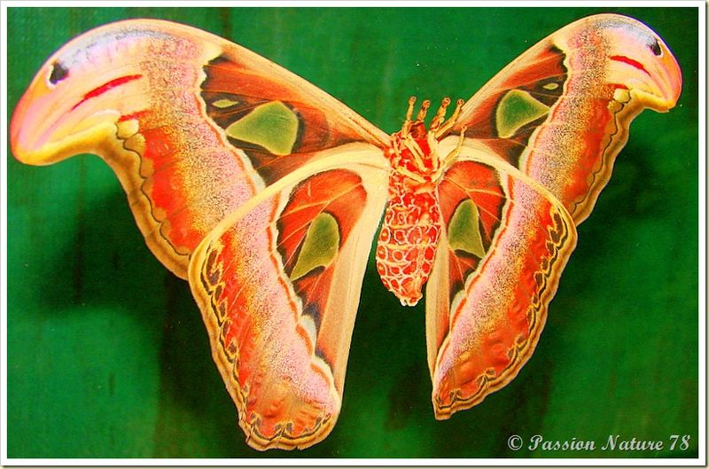 Papillon Attacus Atlas ou Bombyx Atlas (18)