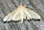 Thliptoceras longicornalis 03 (1)