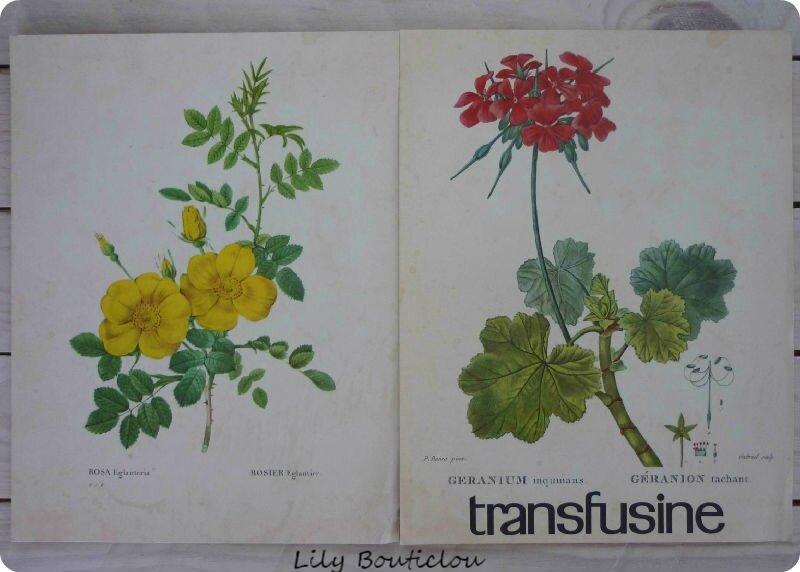 Planche botanique publicité transfusine lilybouticlou