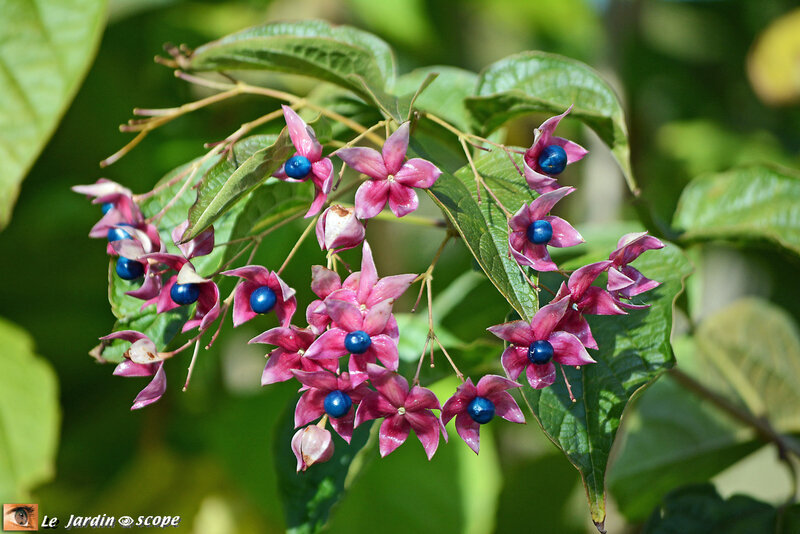 Clerodendron_Trichotomum