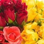 roses_normal_14968