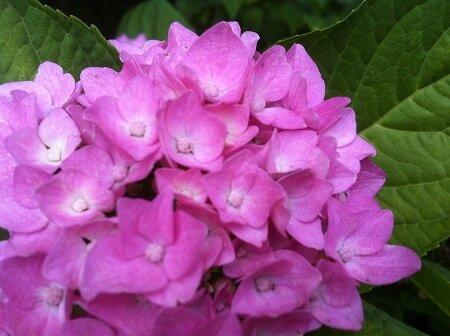 hortensia rose clair