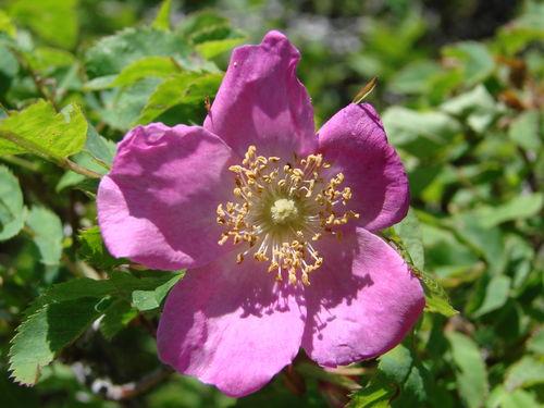 2008 06 26 Une fleur d'églantier en fleur
