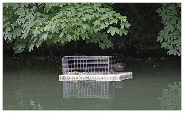 ville piege ragondin poule eau pommes 290513