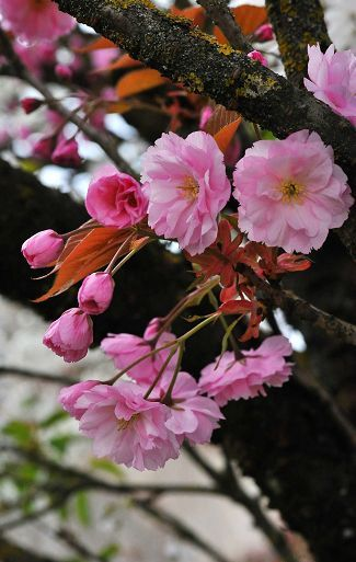 prunus24a