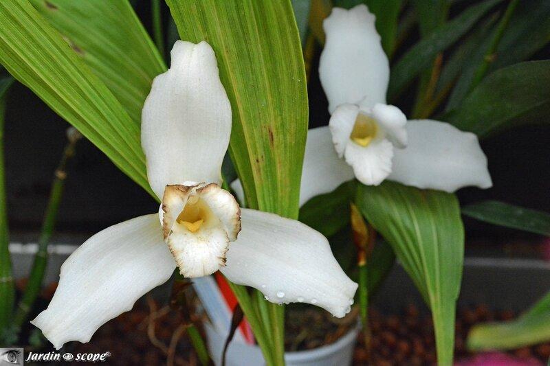 Orchidées-1