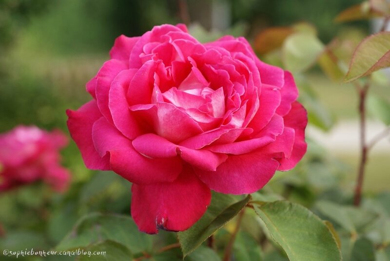 fin juin rose