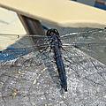 La voluptueuse (Libellula incesta)