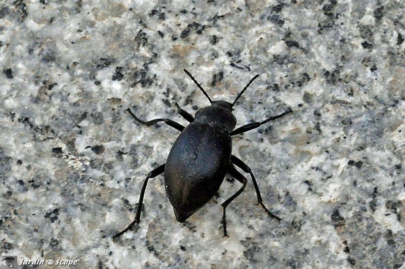 Un mini col opt re vert commun sur l 39 oseille le jardinoscope toute la vie animale de nos - Insecte vert volant ...