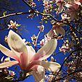 printemps magnolia
