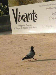 pigeon_en_marche_expo_Vivants