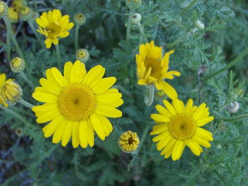 2008 07 15 Des fleurs d'anthémis des teinturiers