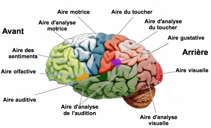 Un cerveau bien complexe !