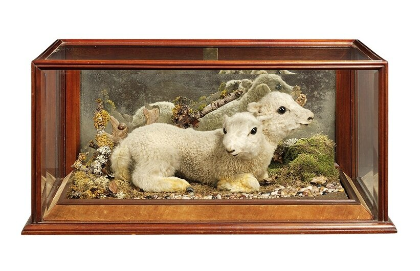 A Welsh taxidermy specimen of a polycephalic lamb (Ovis Aries, Early 20th century