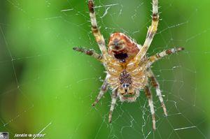 Épeire diadème • Araneus diadematus - recto