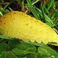 chenille de flambé (iphiclides podalirius)