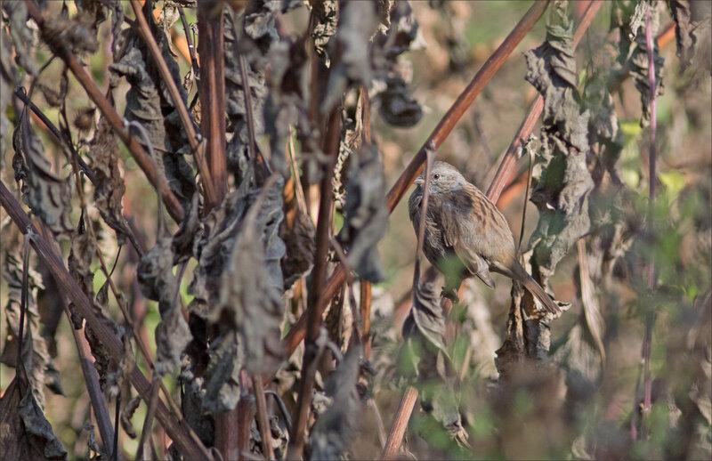 ville oiseau accenteur plantes seches 240917
