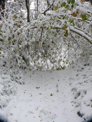 2008 10 30 Arbre couché sur le chemin d'accé au sommet du Lizieux par le poid de la neige