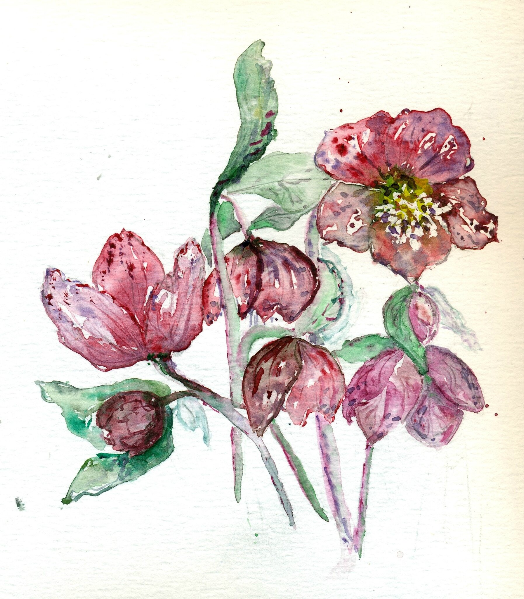Héllébores (2)