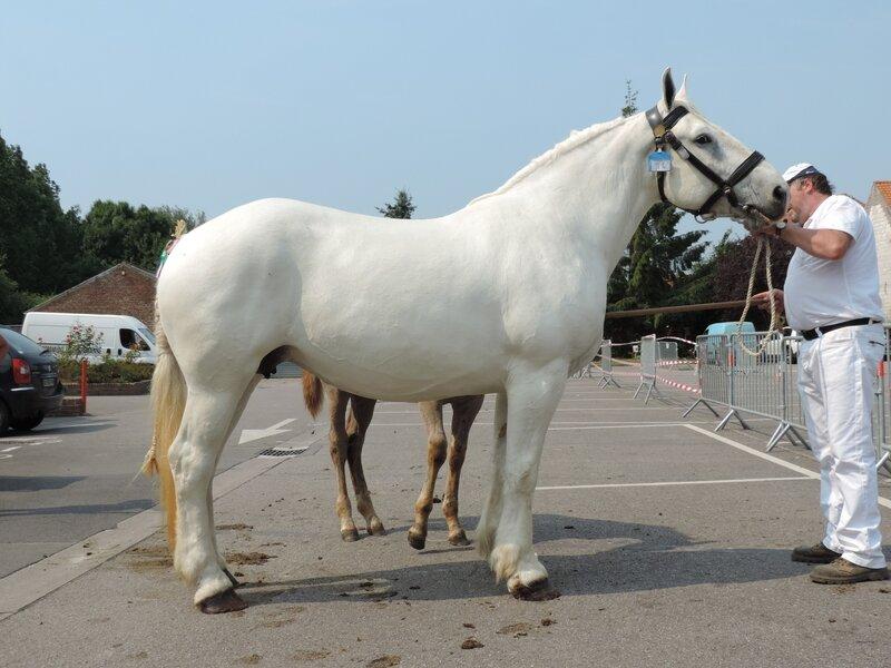 Belle de Nuit duMarai - 20 Juin 207 - Concours élevage local - Thérouanne (62) - 2e (Suitées de 4 à 9 ans)