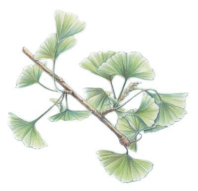 ginkgo-herbal-remedies-1