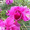 roses-du-soir (8)