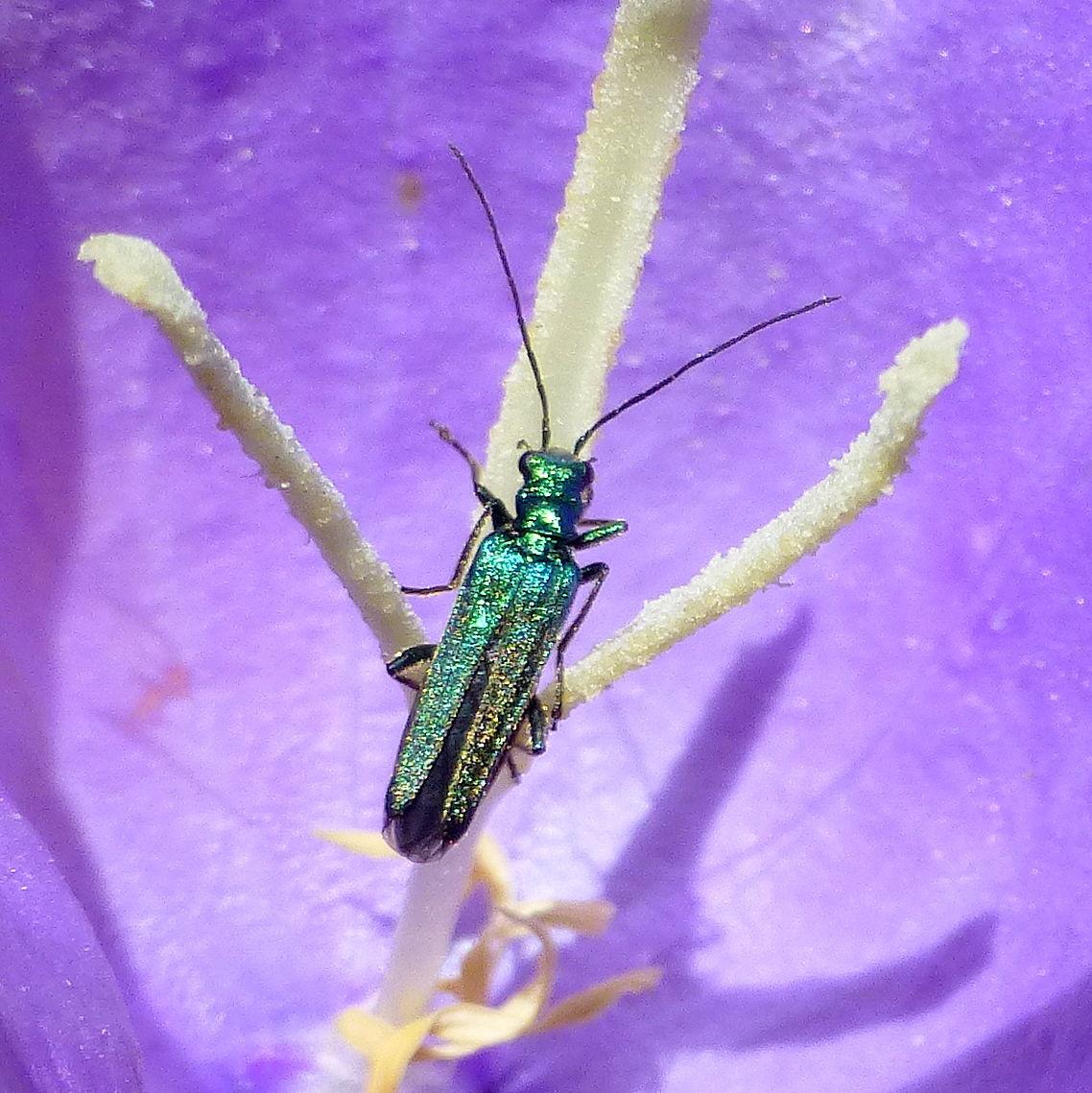 petit insecte bleu-vert à reflets métalliques : Oedemera nobilis