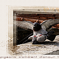 pigeon amour tendre_
