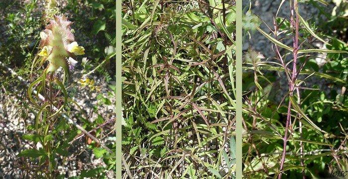 tiges dressées feuilles opposées sessiles