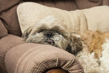 50969696-shih-tzu-on-sofa