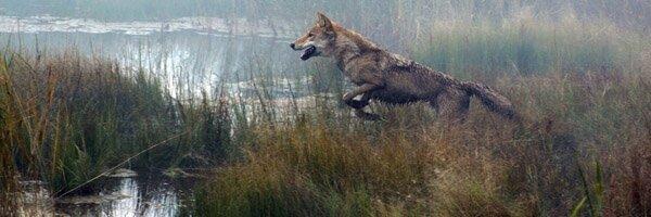 le dernier loup2