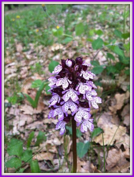 orchidee 009