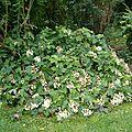 hydrangea quercifolia (hortensia à feuilles de chêne)