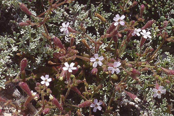 fleurs en cymes dichotomes unitlatérale corolle de 15-20 mm