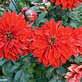 Dahlia Alex (Label Rouge)