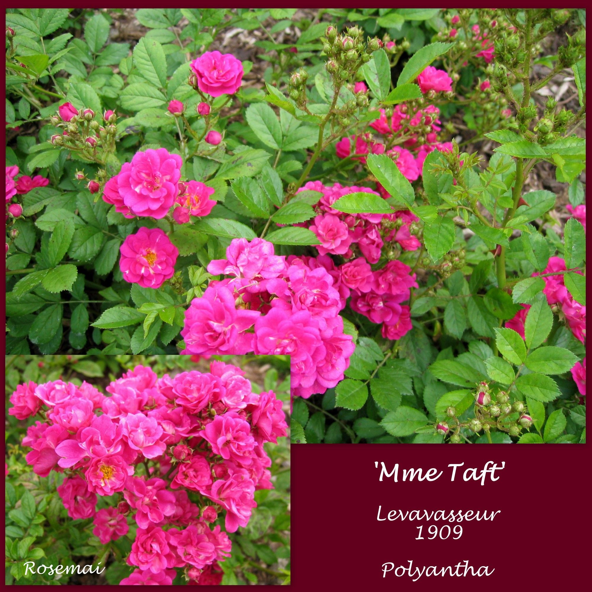 Rose ancienne : 'Mme Taft'