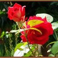 Roses 160715