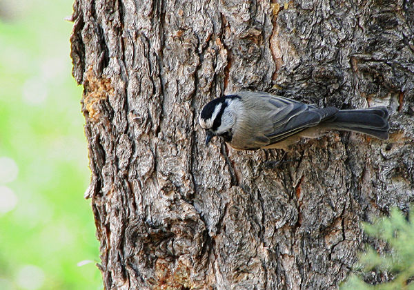 mountain_Chickadee
