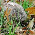 Amanite rougissante • Amanita rubescens • famille des Amanitacea