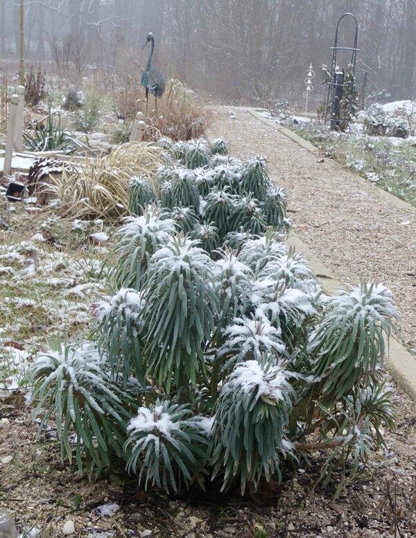 euphorbe sous la neige