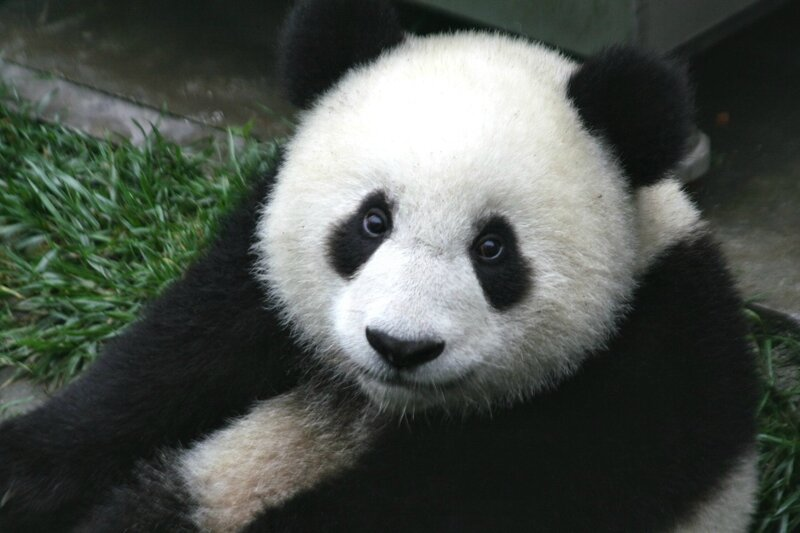 panda_cub_from_wolong_sichuan_china